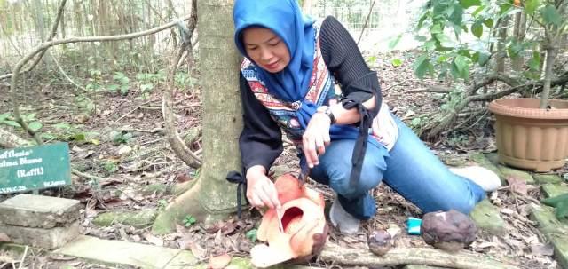 https: img.okeinfo.net content 2019 09 15 338 2105049 bunga-langka-rafflesia-patma-mekar-di-kebun-raya-bogor-t6z9jFXud8.jpg