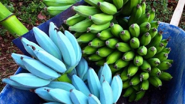https: img.okeinfo.net content 2019 09 18 56 2106515 tahukan-anda-ternyata-pisang-terdiri-dari-berbagai-warna-8UAJBU7tgB.jpg