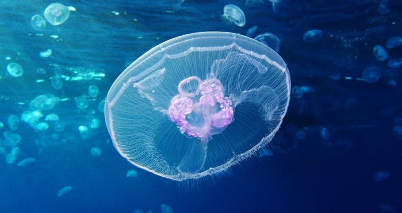 https: img.okeinfo.net content 2019 09 19 612 2106709 sea-world-ancol-budidayakan-ratusan-ubur-ubur-untuk-apa-bGR4GRY3Lo.jpg