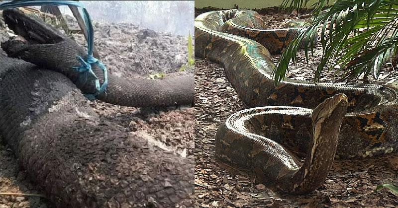 Saking besarnya, tubuh ular itu tampak memenuhi sungai yang berada di antara hutan rimbun.