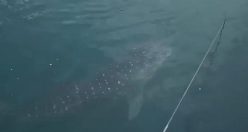 https: img.okeinfo.net content 2019 09 20 320 2107325 hiu-paus-kok-bisa-tersesat-ke-pltu-paiton-ternyata-ini-sebabnya-OuumNll9Wb.jpg
