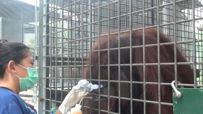 https: img.okeinfo.net content 2019 09 21 340 2107577 37-orangutan-terserang-ispa-akibat-kabut-asap-harus-dirawat-intensif-OjJQAW8scm.jpg