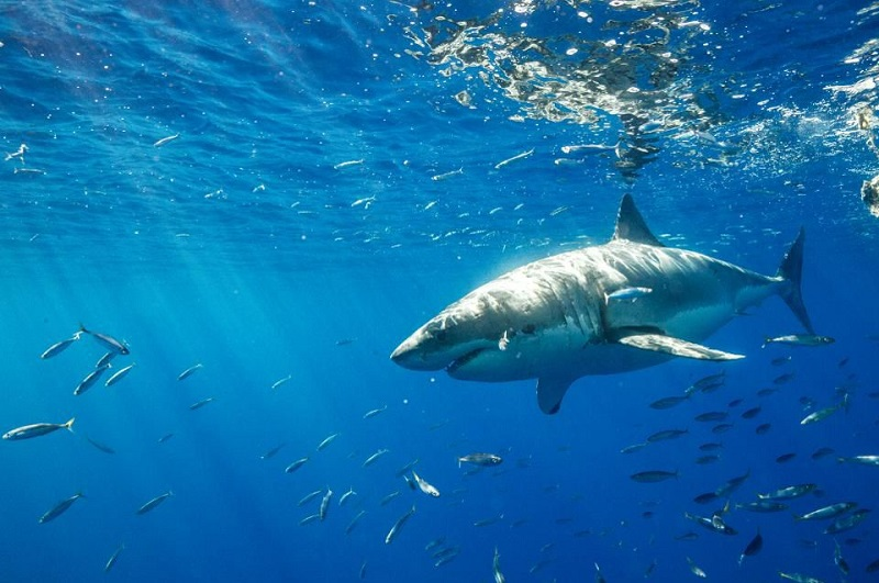 84 Koleksi Gambar Ikan Hiu Putih HD Terbaik