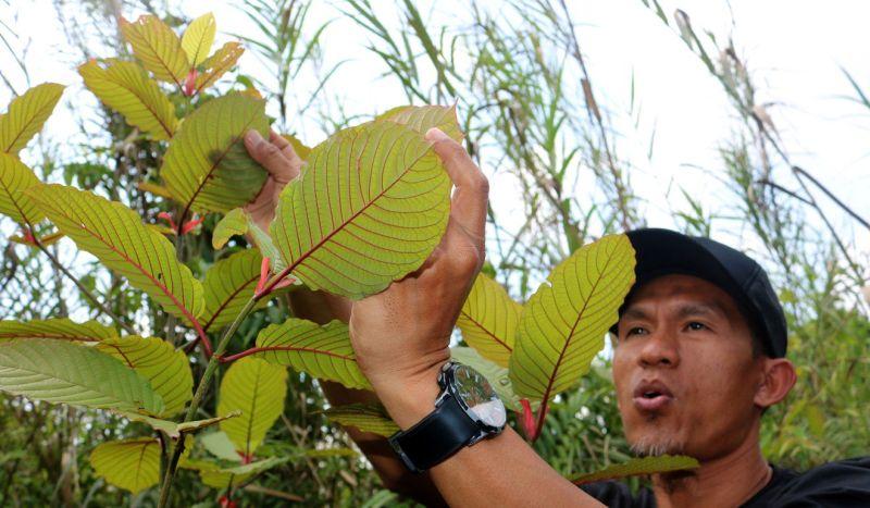 https: img.okeinfo.net content 2019 10 09 481 2114610 kratom-tumbuhan-herbal-asal-indonesia-yang-jadi-narkoba-di-amerika-NbjrXhVULn.jpg