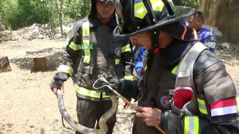 https: img.okeinfo.net content 2019 11 05 609 2126203 ular-king-kobra-masuk-rumah-warga-proses-evakuasi-berlangsung-dramatis-4GpoOq5RMD.jpg