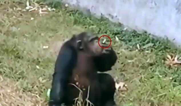 https: img.okeinfo.net content 2019 11 06 18 2126464 seekor-simpanse-terekam-mengisap-rokok-seperti-manusia-di-bonbin-china-ph2IAFUU6Z.jpg