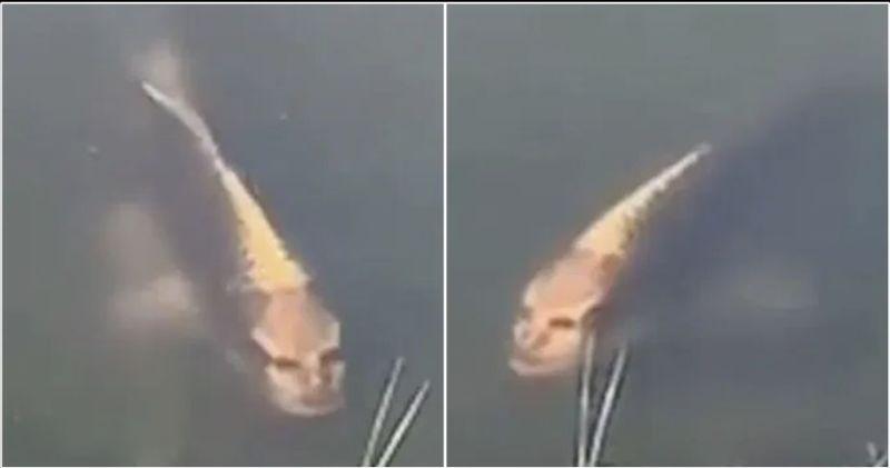 https: img.okeinfo.net content 2019 11 10 18 2128064 ikan-mas-dengan-wajah-manusia-ditemukan-di-desa-wisata-china-EJeWjvwJ59.jpg