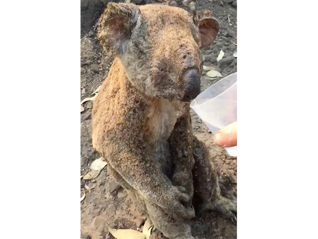 https: img.okeinfo.net content 2019 11 15 18 2130547 momen-mengharukan-koala-yang-terbakar-diberi-minum-seorang-pria-xacCm5Ff2Z.jpg