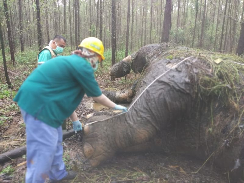 https: img.okeinfo.net content 2019 11 20 340 2132413 gajah-sumatera-dibunuh-pemburu-gading-hilang-dipotong-8zVvE0XFcj.jpg