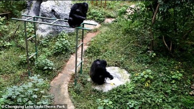 https: img.okeinfo.net content 2019 12 02 18 2137060 seekor-simpanse-terekam-cuci-pakaian-penjaga-kebun-binatang-egmpwhLDPk.jpg