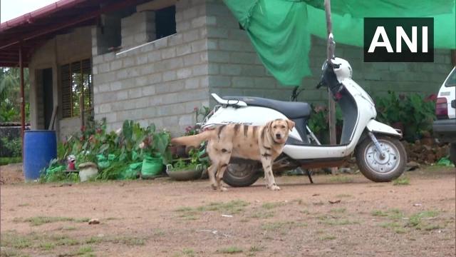 https: img.okeinfo.net content 2019 12 04 18 2137890 petani-india-cat-anjingnya-seperti-harimau-demi-lindungi-kebun-kopi-dari-gangguan-monyet-t9GwBKX9Ls.jpg