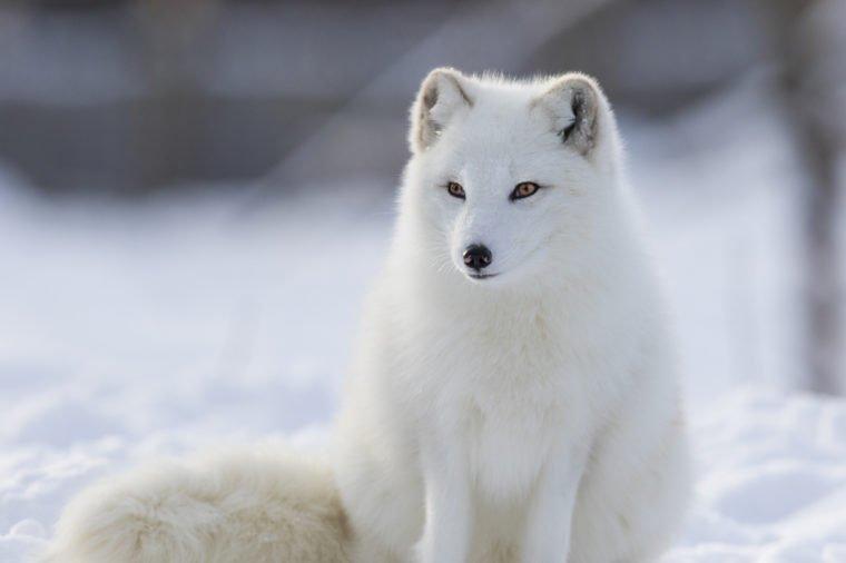 https: img.okeinfo.net content 2019 12 12 65 2141253 bukan-sulap-bukan-sihir-7-hewan-ini-berubah-jadi-putih-saat-musim-dingin-kf9TW2wEss.jpg