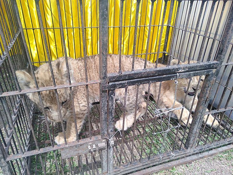 https: img.okeinfo.net content 2019 12 15 340 2142167 polda-riau-gagalkan-penyelundupan-4-anak-singa-dan-leopard-ZUmMEoGBC2.jpg