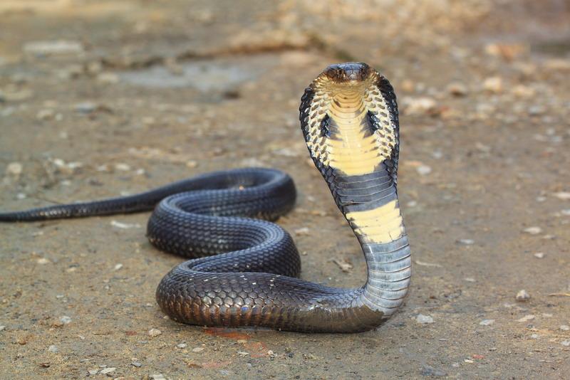 Hasil gambar untuk ular cobra