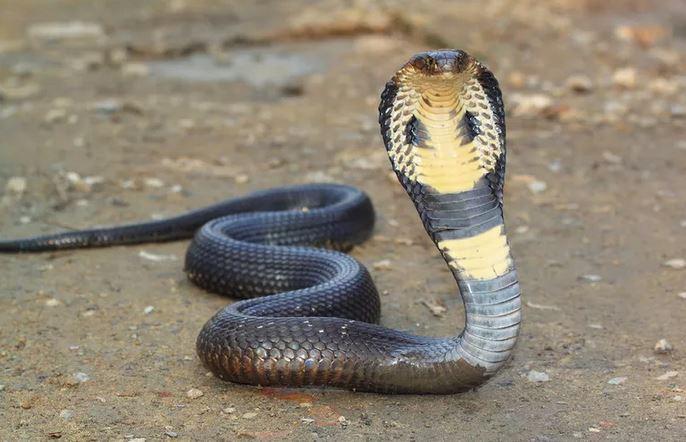 https: img.okeinfo.net content 2019 12 20 65 2144213 fakta-ular-kobra-berkeliaran-karena-ekosistem-terganggu-LsFAAgpieV.JPG
