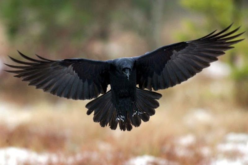 https: img.okeinfo.net content 2020 01 07 614 2150083 ayat-alquran-dan-burung-gagak-sebagai-hewan-tercerdas-feu0sQaGLM.jpg