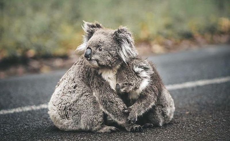 https: img.okeinfo.net content 2020 01 09 406 2150980 kebakaran-hutan-di-australia-ribuan-koala-diselamatkan-para-pemadam-r8gbzebI4J.jpg