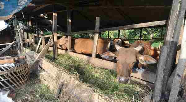 sapi terpapar antraks akan membentuk banyak spora antraks dan menular ke manusia.
