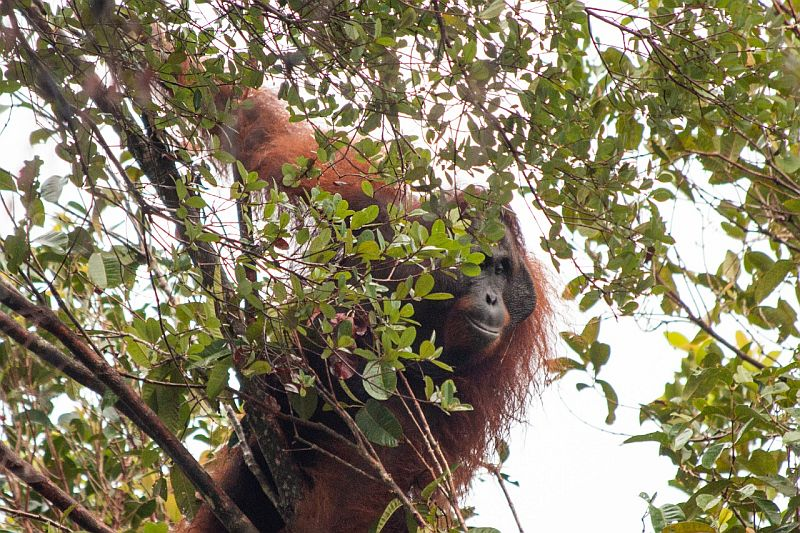 https: img.okeinfo.net content 2020 01 27 340 2158912 penambangan-dan-penebangan-pohon-ilegal-buat-orangutan-masuk-kebun-warga-Pdhok8hBgP.jpg