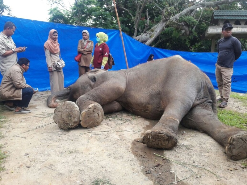 https: img.okeinfo.net content 2020 02 10 340 2165982 gajah-salma-mati-usai-7-bulan-lebih-dirawat-I0zhfESoU8.jpg