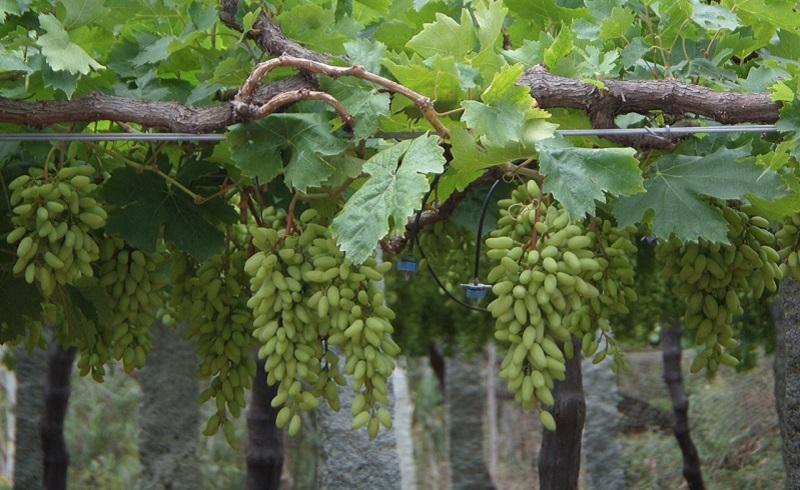 https: img.okeinfo.net content 2020 02 13 614 2167750 sains-dalam-alquran-anggur-buah-kesukaan-rasulullah-saw-G0JJTT55mO.jpg