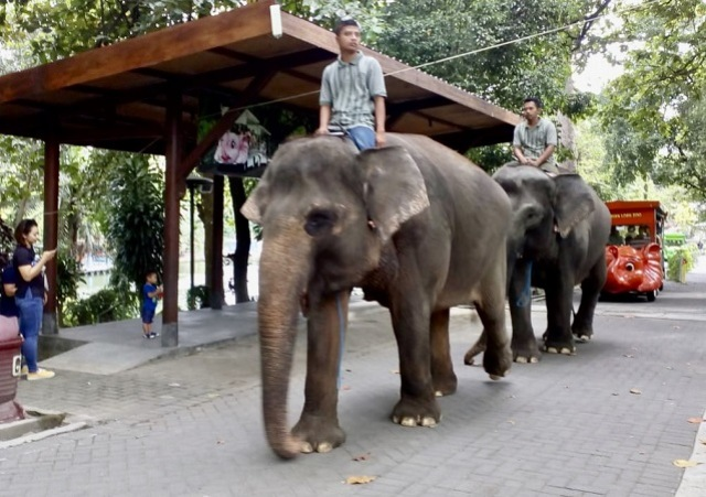 https: img.okeinfo.net content 2020 02 19 510 2170863 dua-gajah-di-kebun-binatang-yogyakarta-bersiap-melahirkan-yKHWbzf61X.jpeg