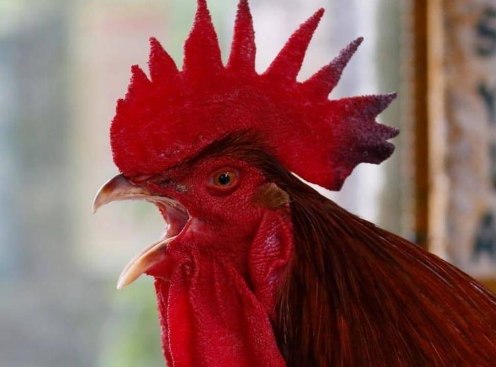 https: img.okeinfo.net content 2020 03 29 56 2190766 ini-alasan-ilmiah-ayam-jantan-berkokok-setiap-pagi-wZg0BW21uv.jpeg