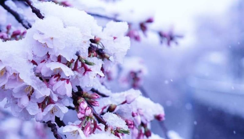 Momen Langka Bunga Sakura Mekar Di Musim Salju Saat Pandemi Virus