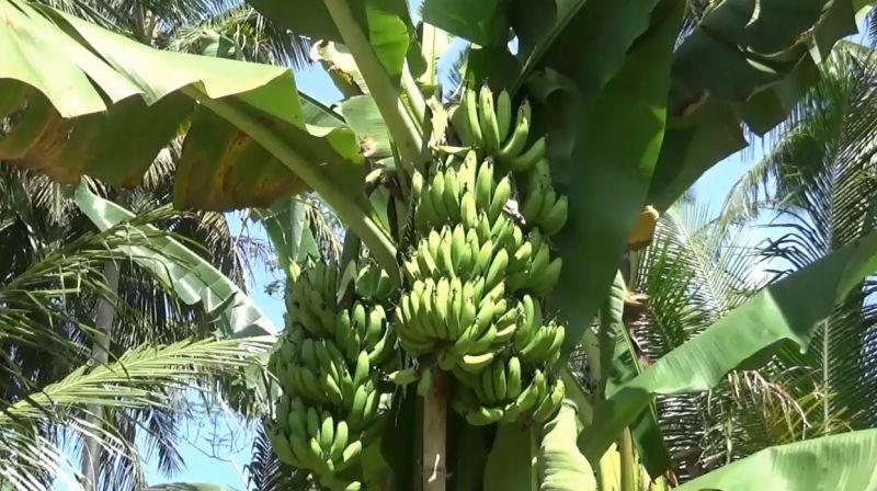 https: img.okeinfo.net content 2020 06 24 510 2235425 ajaib-satu-pohon-pisang-bertandan-tiga-qdg0liATkk.jpg