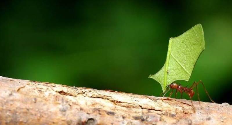 https: img.okeinfo.net content 2020 06 25 16 2236300 semut-bisa-angkat-benda-hingga-5-000-kali-lipat-dari-berat-tubuhnya-6koi4q9yUe.jpeg