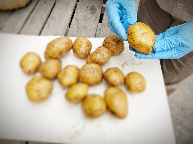https: img.okeinfo.net content 2020 06 30 320 2238636 kabar-baik-ekspor-kentang-sumatra-naik-300-di-masa-krisis-covid-19-9UN3kyIIgo.jpeg
