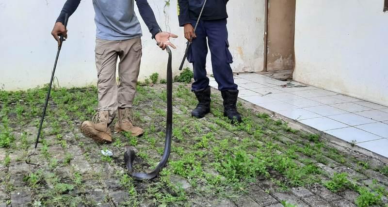 https: img.okeinfo.net content 2020 06 30 338 2239008 hendak-tempati-rumah-yang-sudah-lama-kosong-rosalinda-malah-dapati-ular-kobra-tnKWqtEJyl.jpg