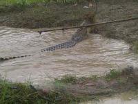 Heboh! Buaya Tiba-Tiba Muncul di Area Persawahan saat Sungai Meluap