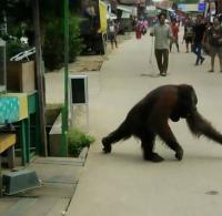 Habitatnya Terusik, Orangutan Turun ke Permukiman Warga Kukar dan <i>Bikin</i> Heboh