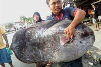 <i>Bikin</i> Heboh, Nelayan Malaysia Berhasil Tangkap Ikan Langka Berbobot 60 Kg