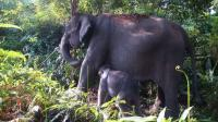 Kawanan Gajah Masuki Pemukiman Warga di Jambi