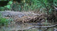 PN Bogor Sidang Juragan Ayam yang Pelihara Buaya Muara