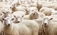 Mahasiswa IPB Olah Limbah Jadi Sumber Protein Pakan Domba