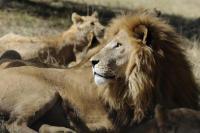 6 Singa dan 74 Burung Bangkai Mati Diracun di Tanzania