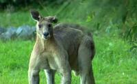 Rahang Pria Australia Patah Dihajar Kanguru Buruannya