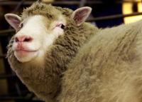Peneliti Skotlandia Umumkan Kelahiran Domba Kloning Dolly