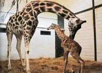 Kabar Gembira! Bayi Jerapah Afrika Lahir di Taman Safari Bogor