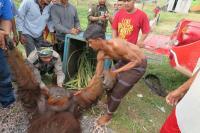Diduga Kelaparan, Orangutan Jantan Habiskan Buah di Kebun Milik Warga