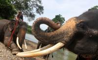 Kawanan Gajah Mengamuk di Aceh Timur, Rumah dan Tanaman Warga Rusak