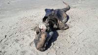 Makhluk Misterius Terdampar di Pantai Wales, Sepintas Mirip Buaya