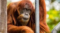 Puan, Orangutan Sumatra Tertua Mati di Australia, Obituari Khusus Diterbitkan