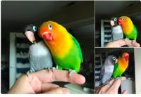 Kisah Burung Love Bird Ini Dijamin Bikin Mewek
