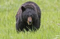 Pria di Jepang Selamat dari Serangan Beruang dengan Meninjunya