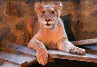 Kafe di Turki Biarkan Singa Muda Berkeliaran Temani Pengunjung, Berani Datang?