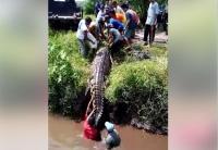 Viral Video Detik-Detik Penangkapan Buaya Sepanjang 4 Meter di Bangka